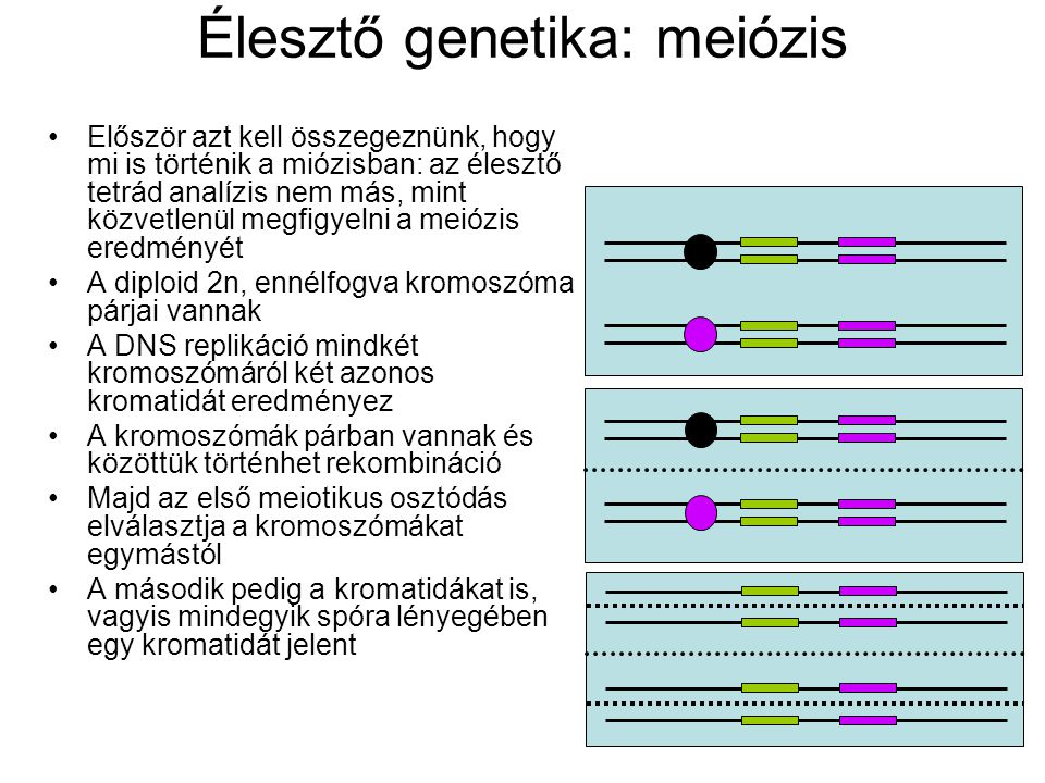 Élesztő genetika: meiózis