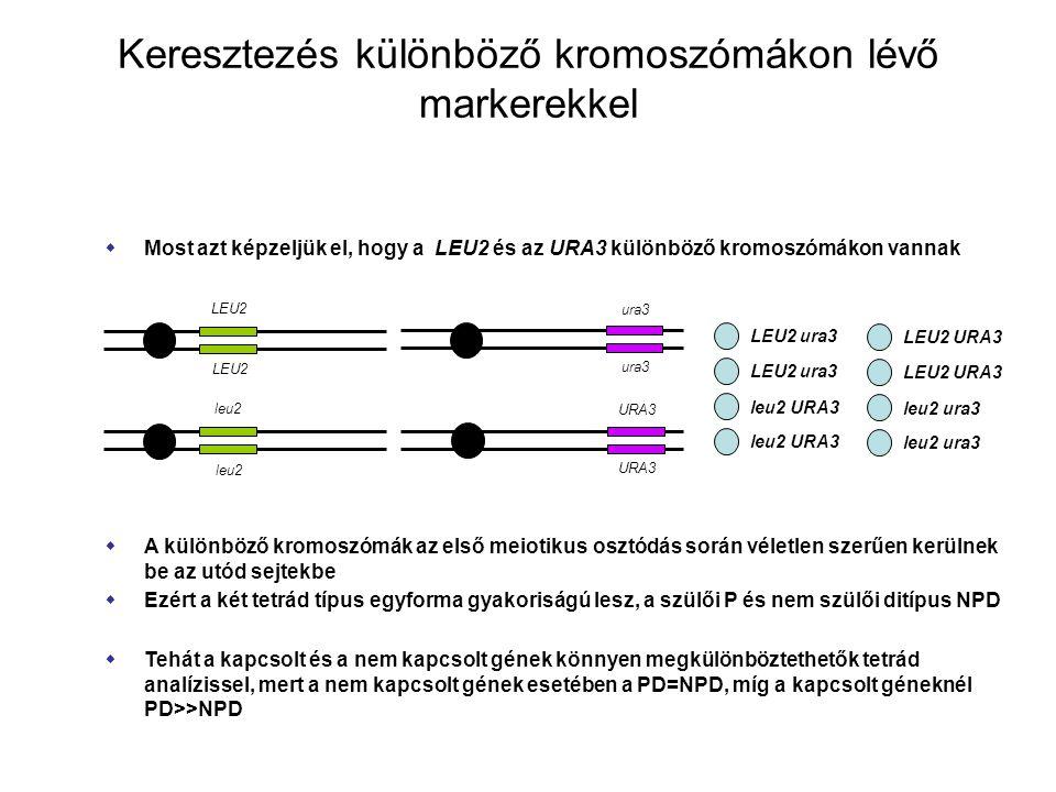 Keresztezés különböző kromoszómákon lévő markerekkel