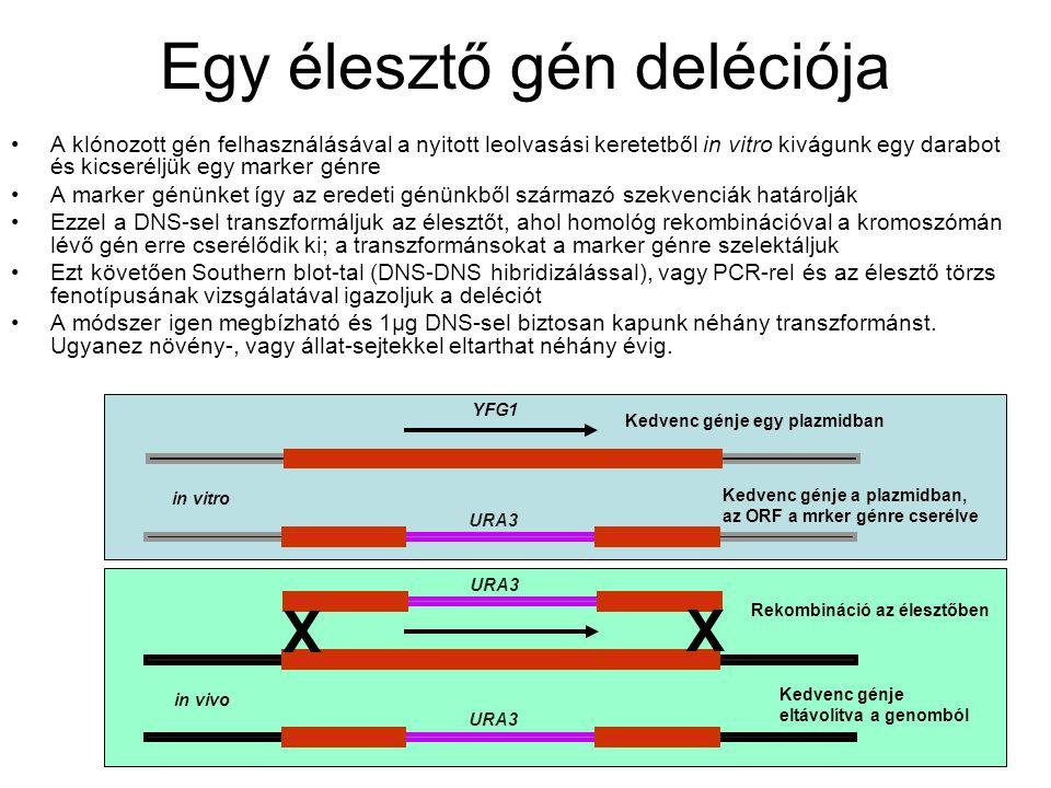 Egy élesztő gén deléciója