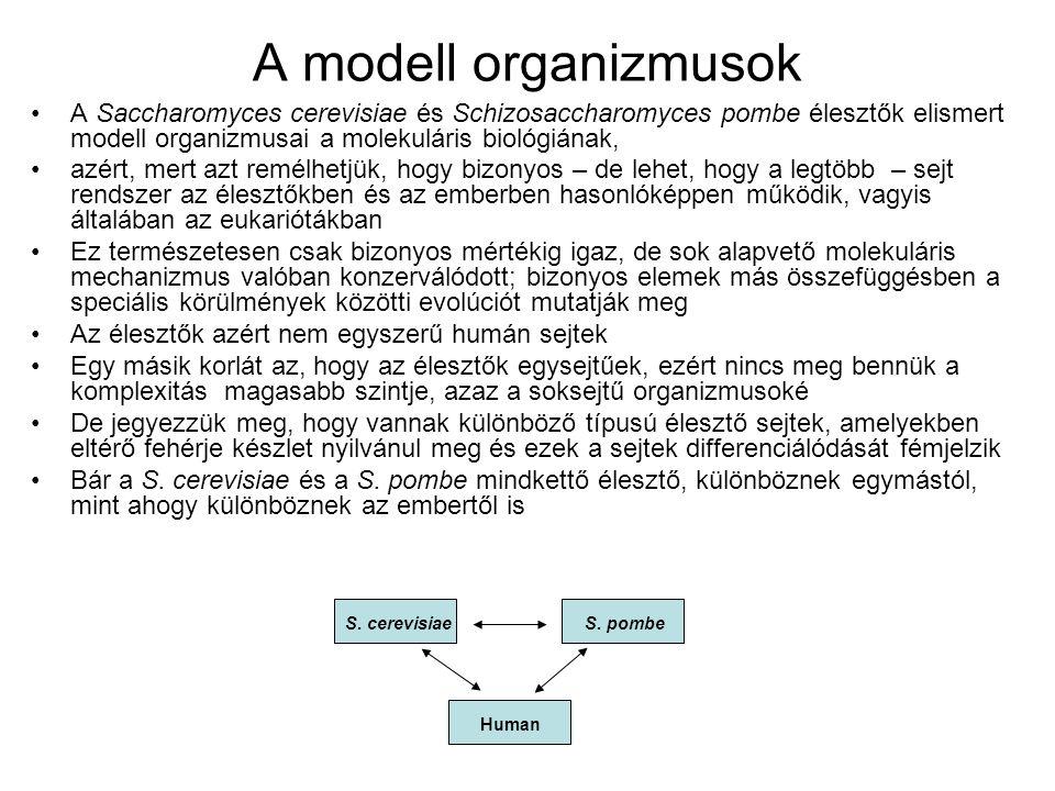 A modell organizmusok A Saccharomyces cerevisiae és Schizosaccharomyces pombe élesztők elismert modell organizmusai a molekuláris biológiának,