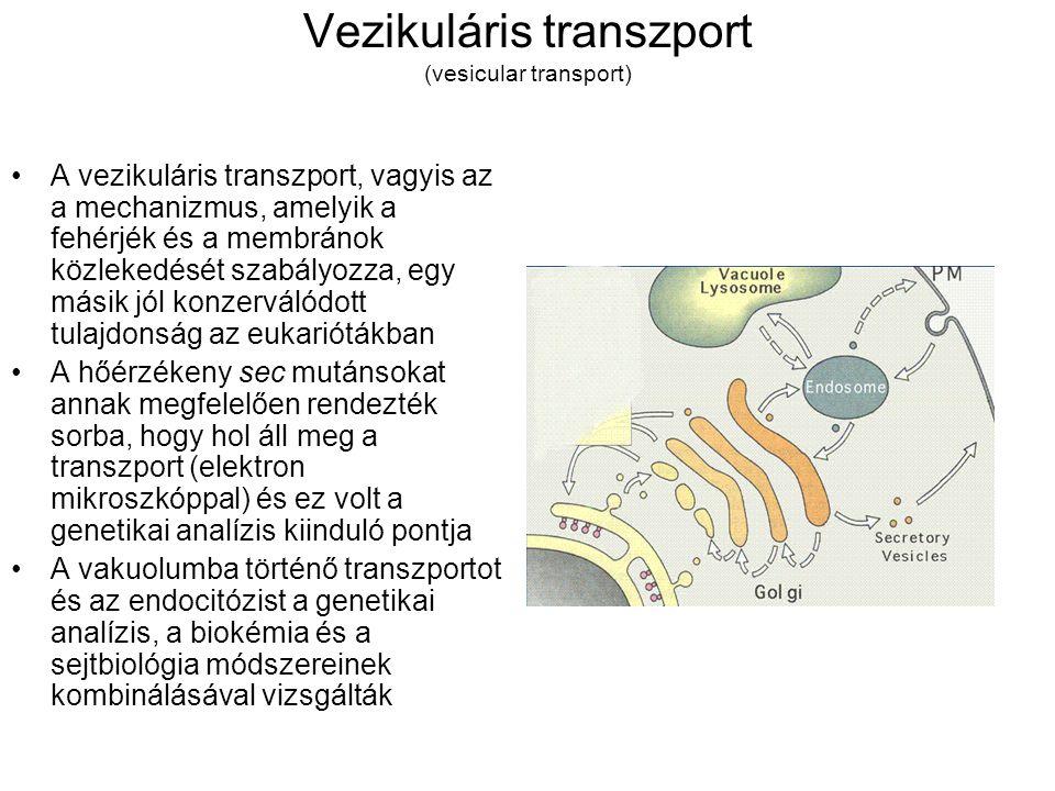 Vezikuláris transzport (vesicular transport)