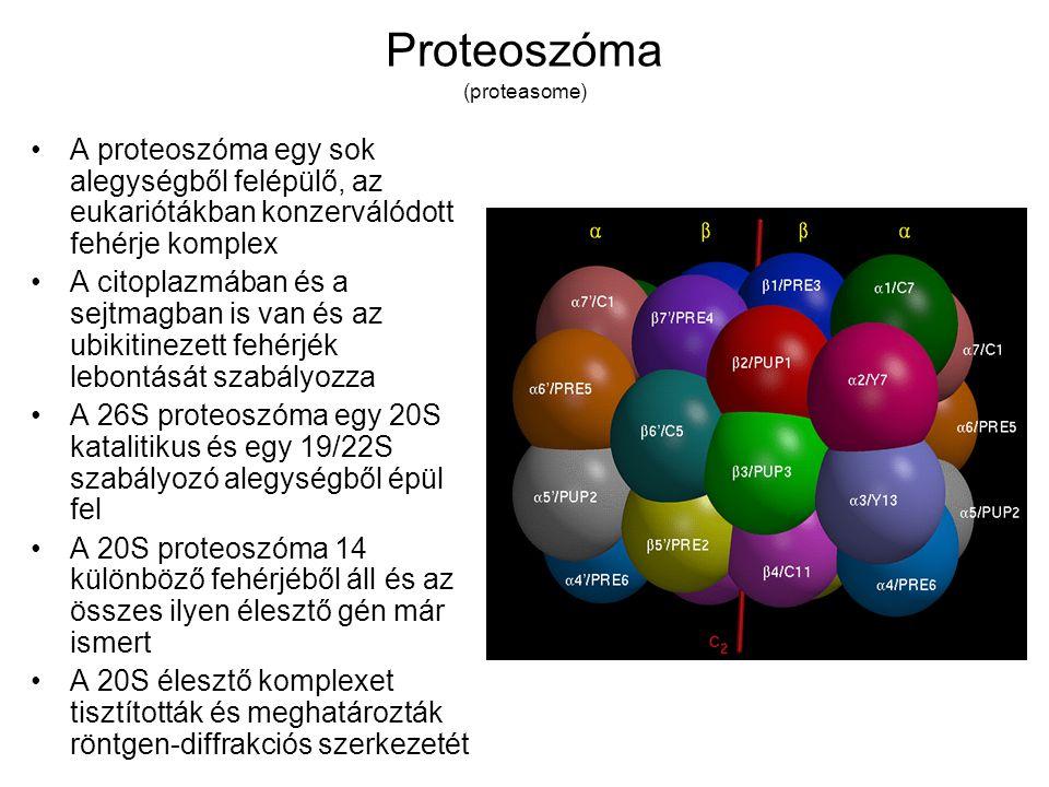 Proteoszóma (proteasome)