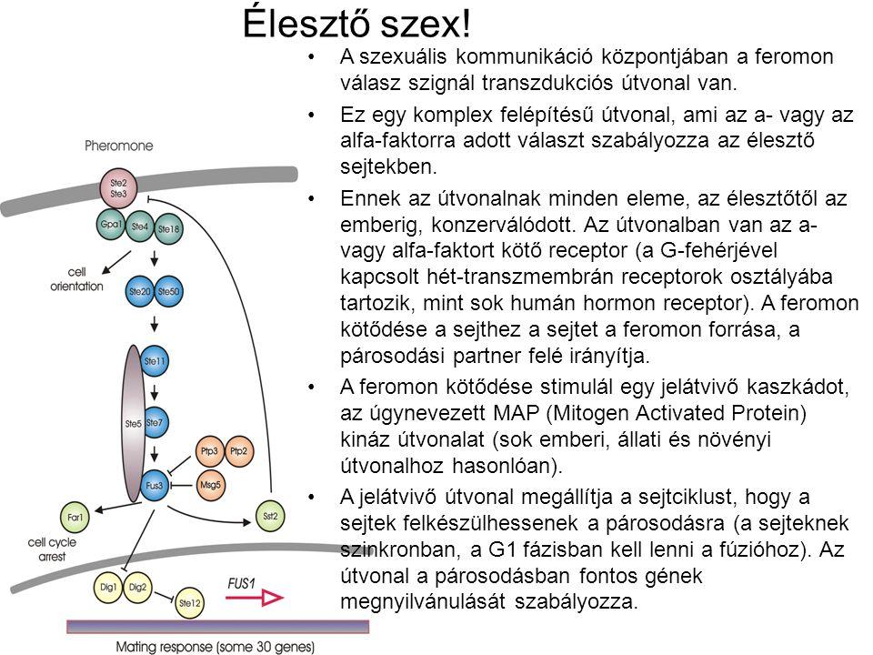 Élesztő szex! A szexuális kommunikáció központjában a feromon válasz szignál transzdukciós útvonal van.
