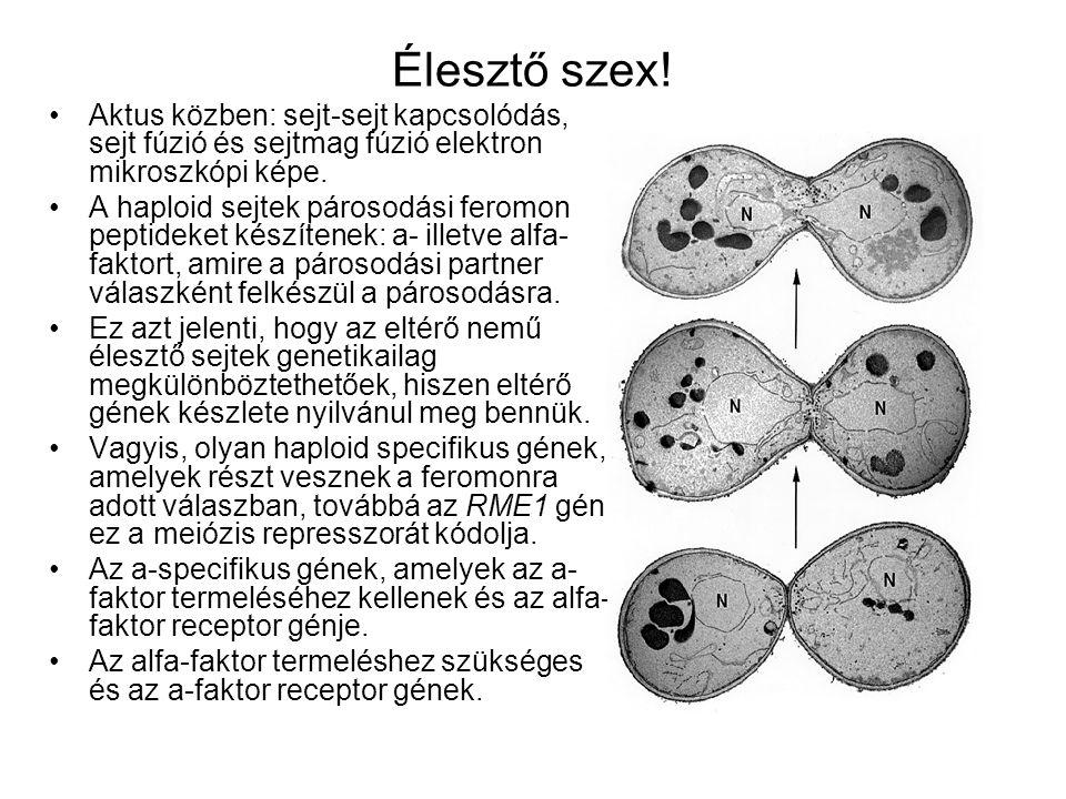 Élesztő szex! Aktus közben: sejt-sejt kapcsolódás, sejt fúzió és sejtmag fúzió elektron mikroszkópi képe.