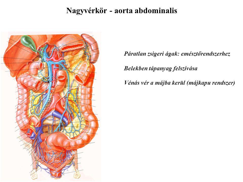 Nagyvérkör - aorta abdominalis