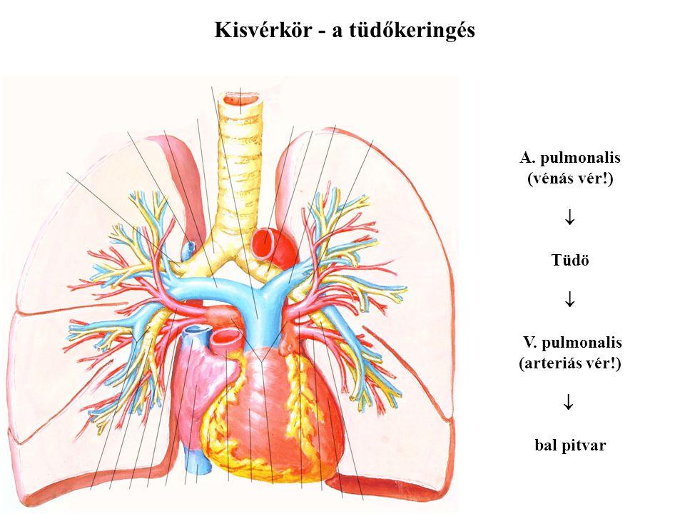 Kisvérkör - a tüdőkeringés