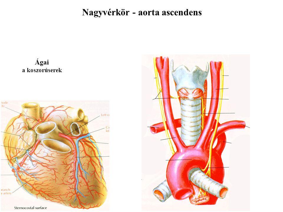 Nagyvérkör - aorta ascendens