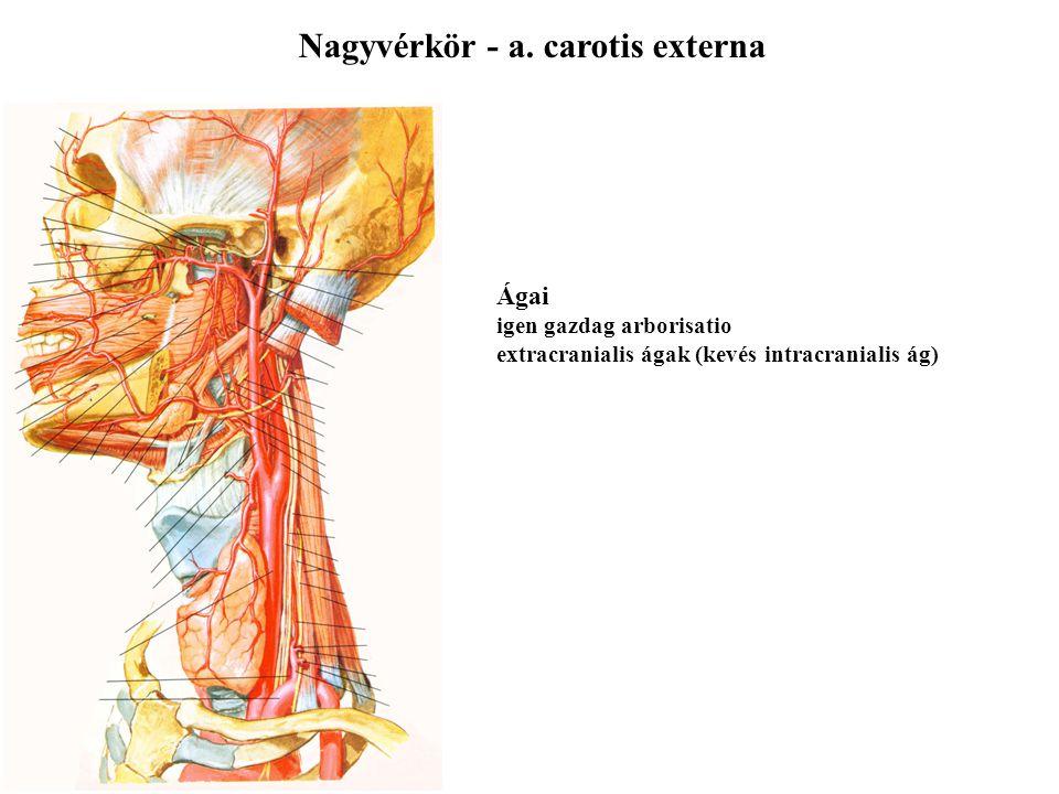 Nagyvérkör - a. carotis externa