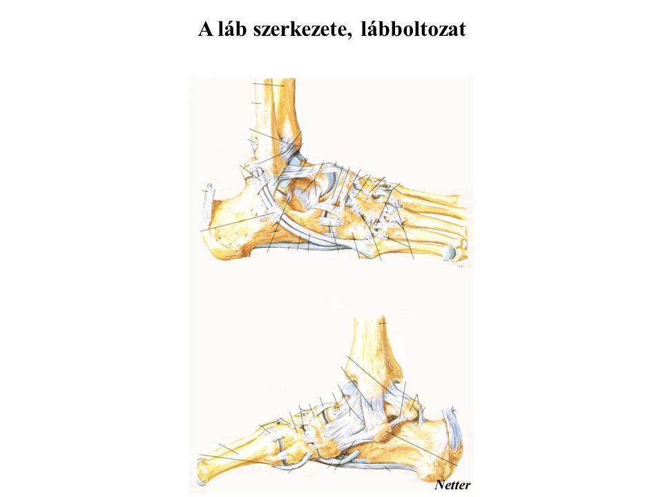 A láb szerkezete, lábboltozat