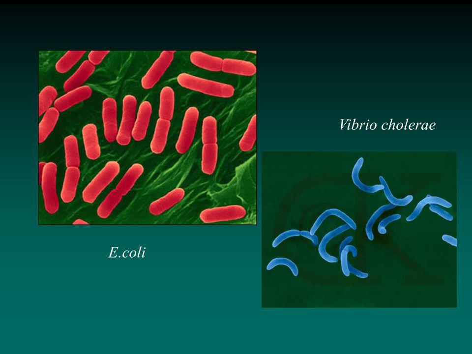 Vibrio cholerae E.coli