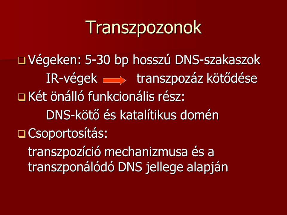 Transzpozonok Végeken: 5-30 bp hosszú DNS-szakaszok