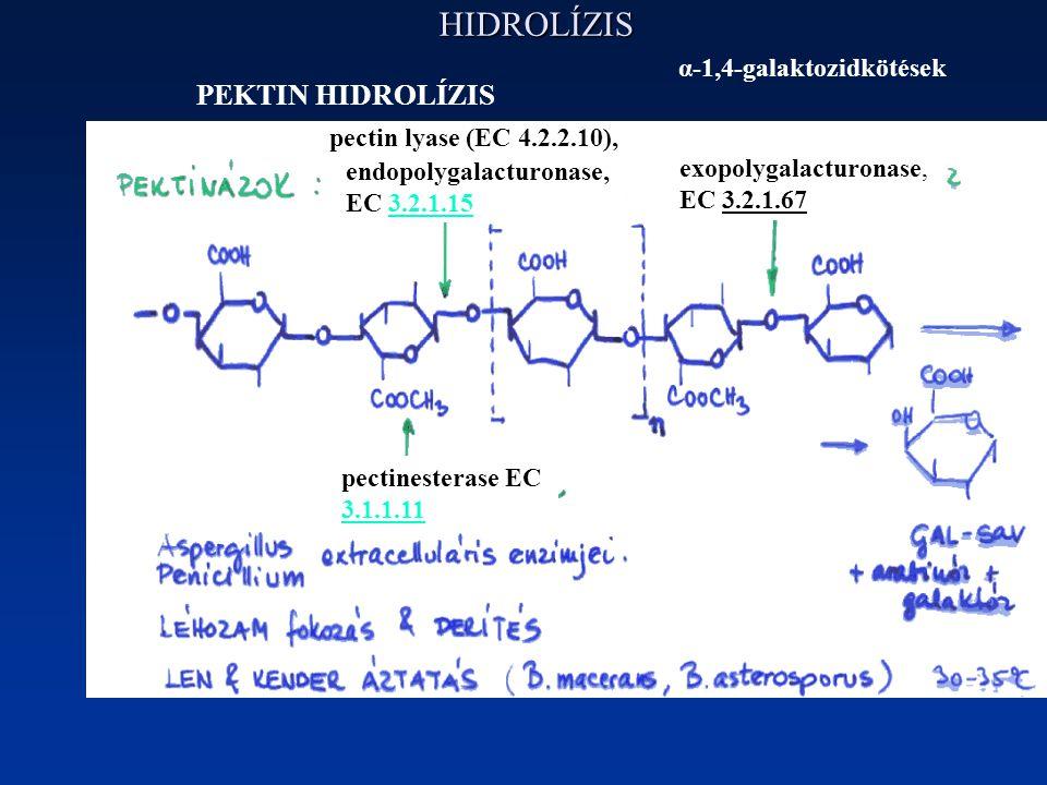 HIDROLÍZIS PEKTIN HIDROLÍZIS α-1,4-galaktozidkötések