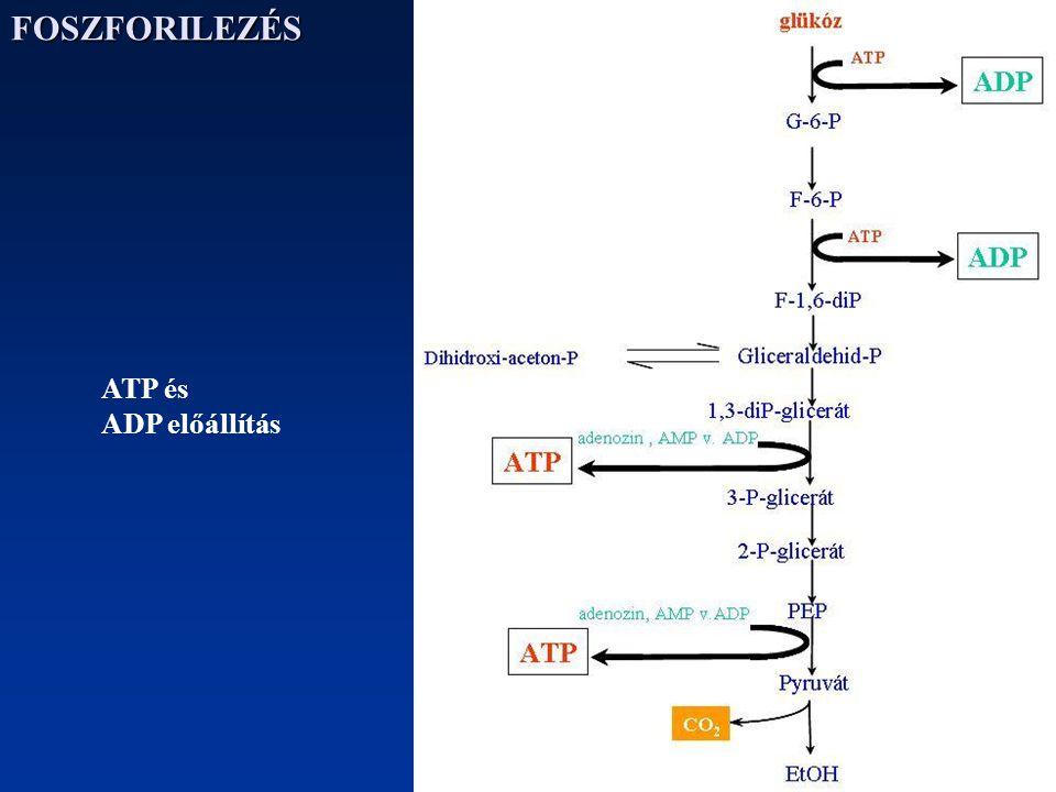 FOSZFORILEZÉS ATP és ADP előállítás