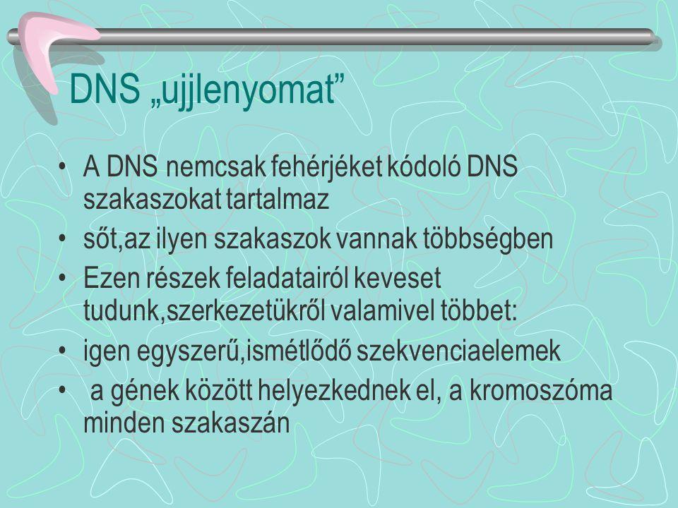 """DNS """"ujjlenyomat A DNS nemcsak fehérjéket kódoló DNS szakaszokat tartalmaz. sőt,az ilyen szakaszok vannak többségben."""