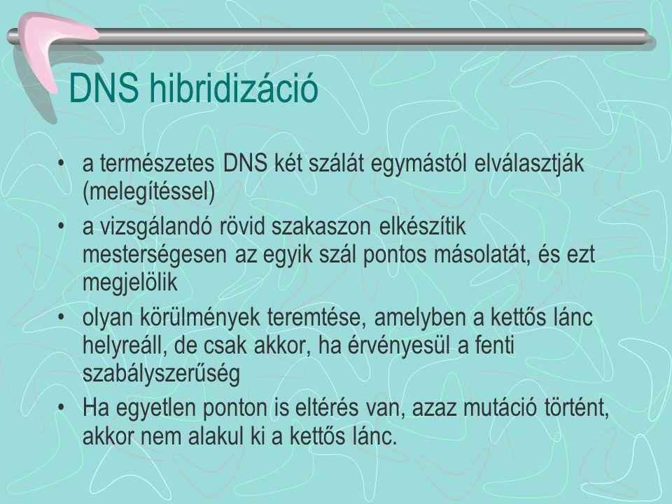 DNS hibridizáció a természetes DNS két szálát egymástól elválasztják (melegítéssel)