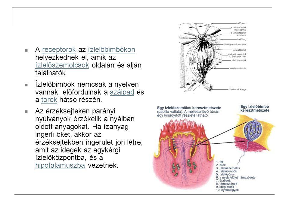 A receptorok az ízlelőbimbókon helyezkednek el, amik az ízlelőszemölcsök oldalán és alján találhatók.