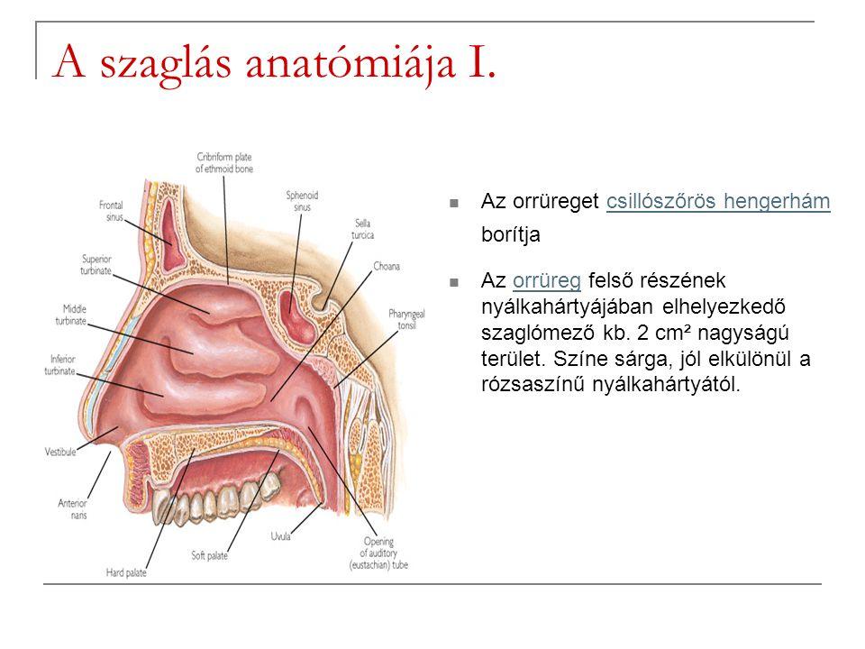 A szaglás anatómiája I. Az orrüreget csillószőrös hengerhám borítja