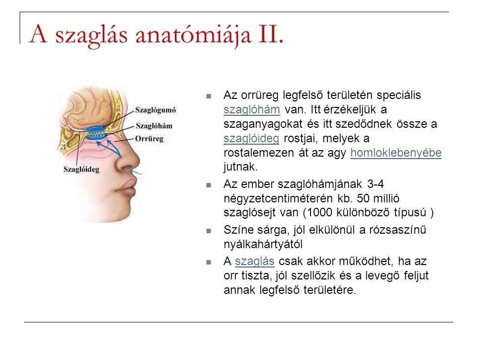 A szaglás anatómiája II.