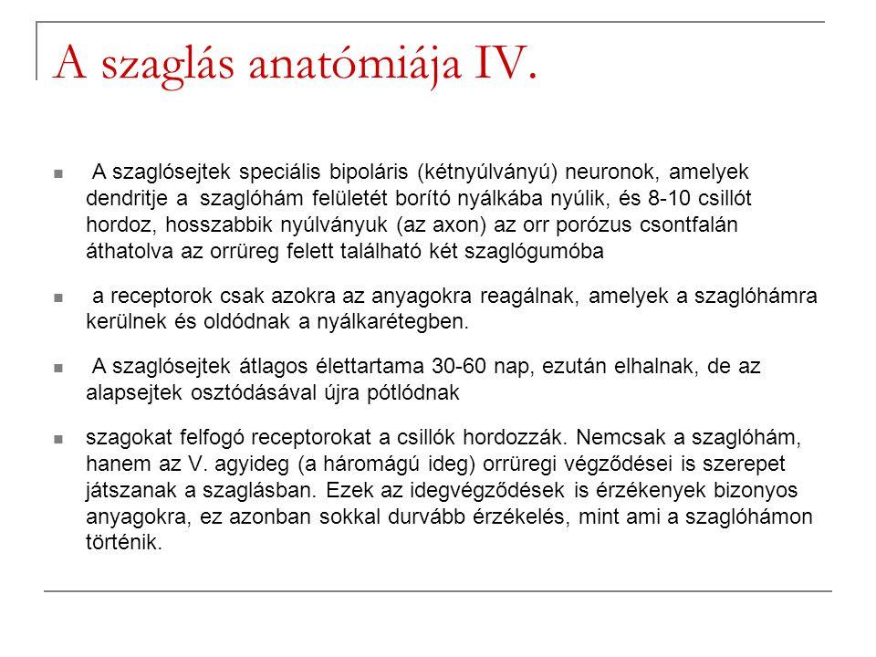 A szaglás anatómiája IV.