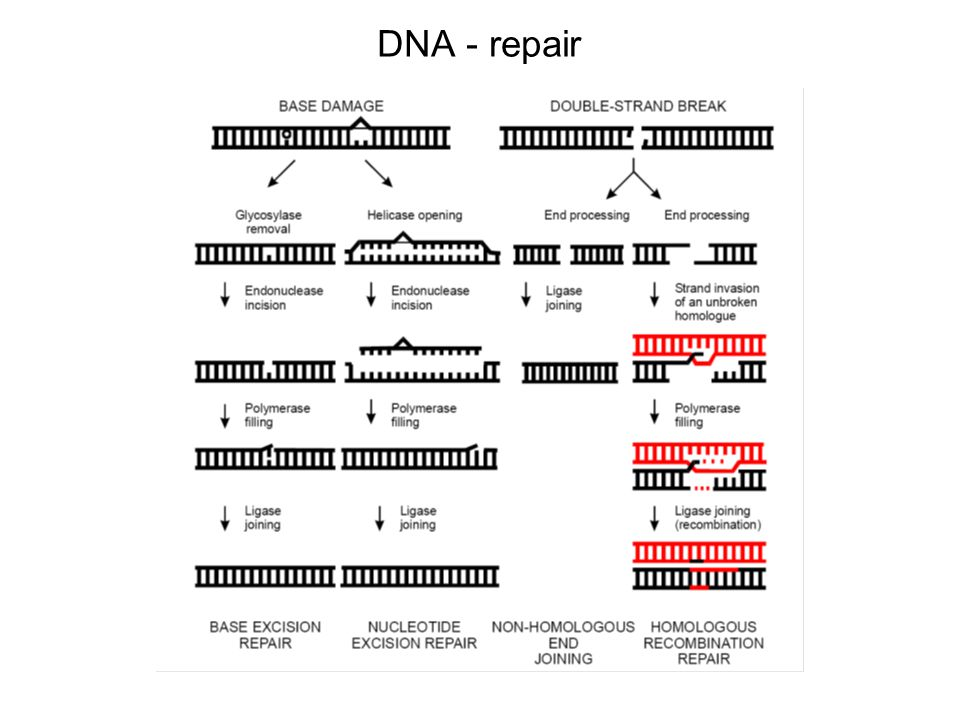 DNA - repair A large number of genes have evolved in all organisms to repair DNA damage; the repair gene products.