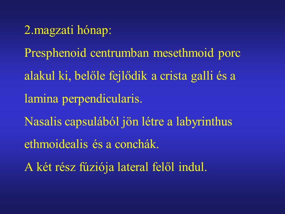 2.magzati hónap: Presphenoid centrumban mesethmoid porc alakul ki, belőle fejlődik a crista galli és a lamina perpendicularis.