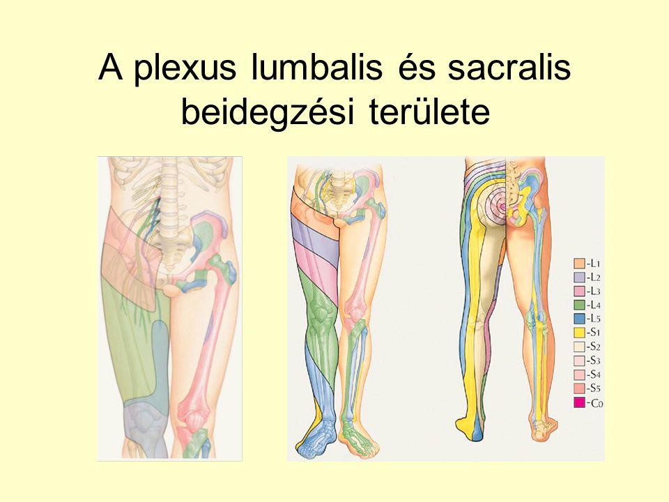 A plexus lumbalis és sacralis beidegzési területe