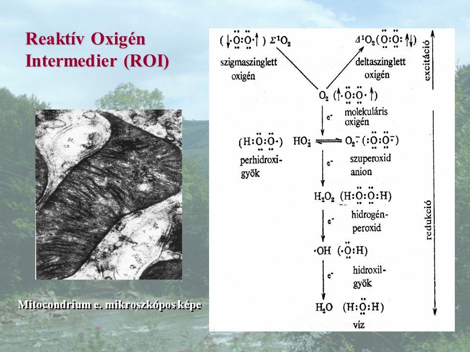 Reaktív Oxigén Intermedier (ROI)