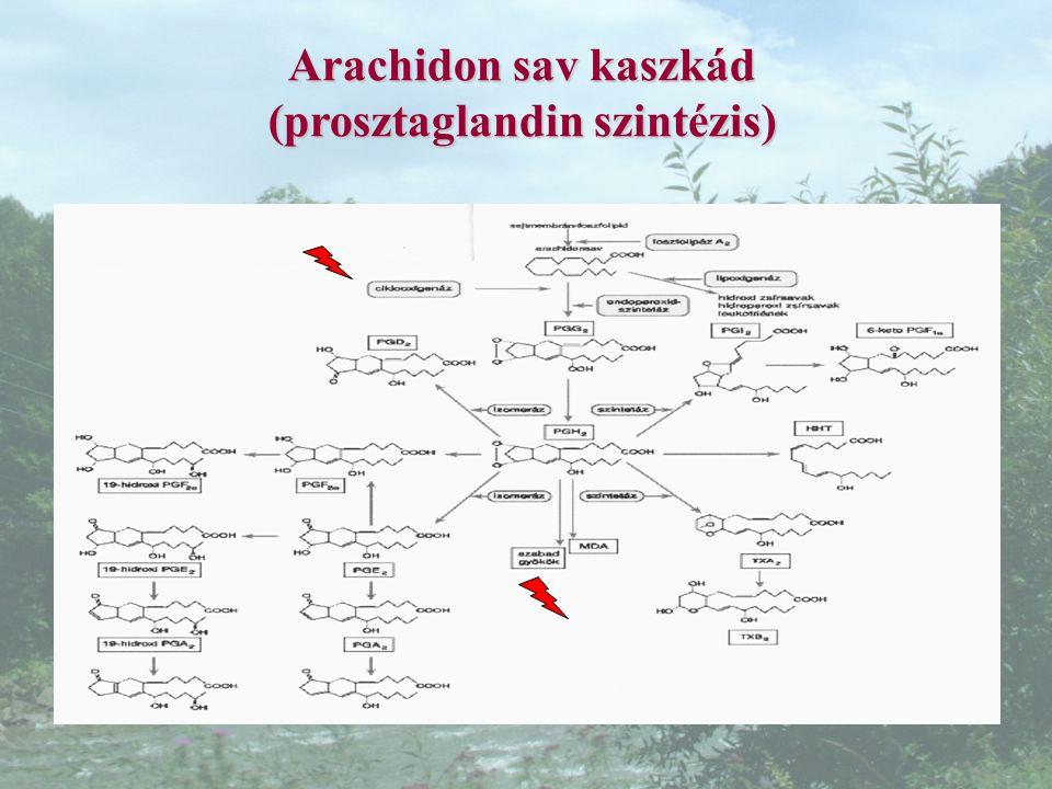 Arachidon sav kaszkád (prosztaglandin szintézis)
