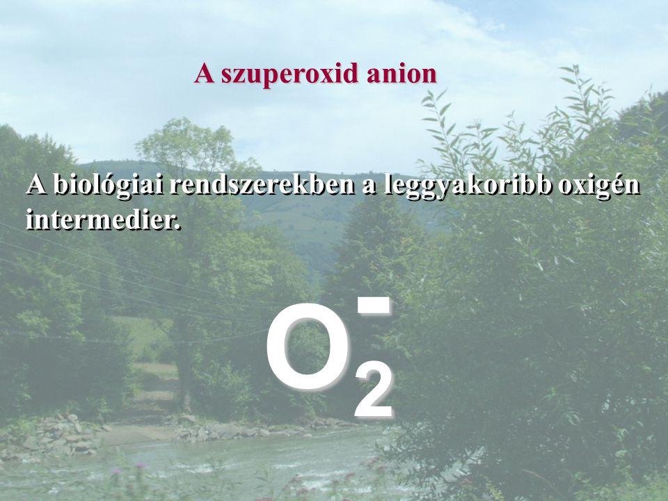 A szuperoxid anion A biológiai rendszerekben a leggyakoribb oxigén intermedier. - O2