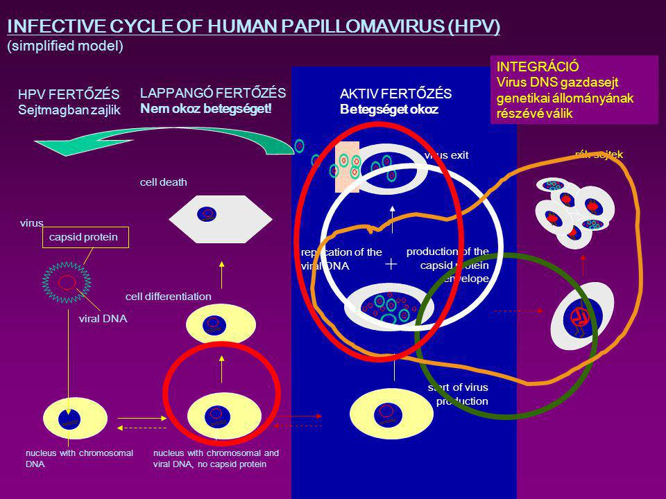 + INFECTIVE CYCLE OF HUMAN PAPILLOMAVIRUS (HPV) (simplified model)