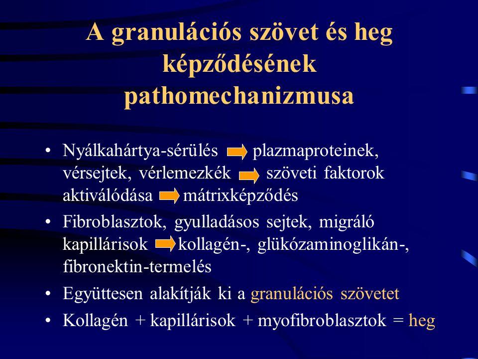 A granulációs szövet és heg képződésének pathomechanizmusa