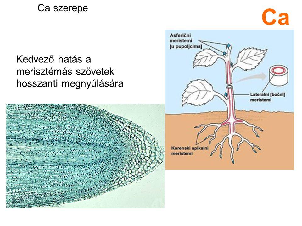 Ca szerepe Ca Kedvező hatás a merisztémás szövetek hosszanti megnyúlására