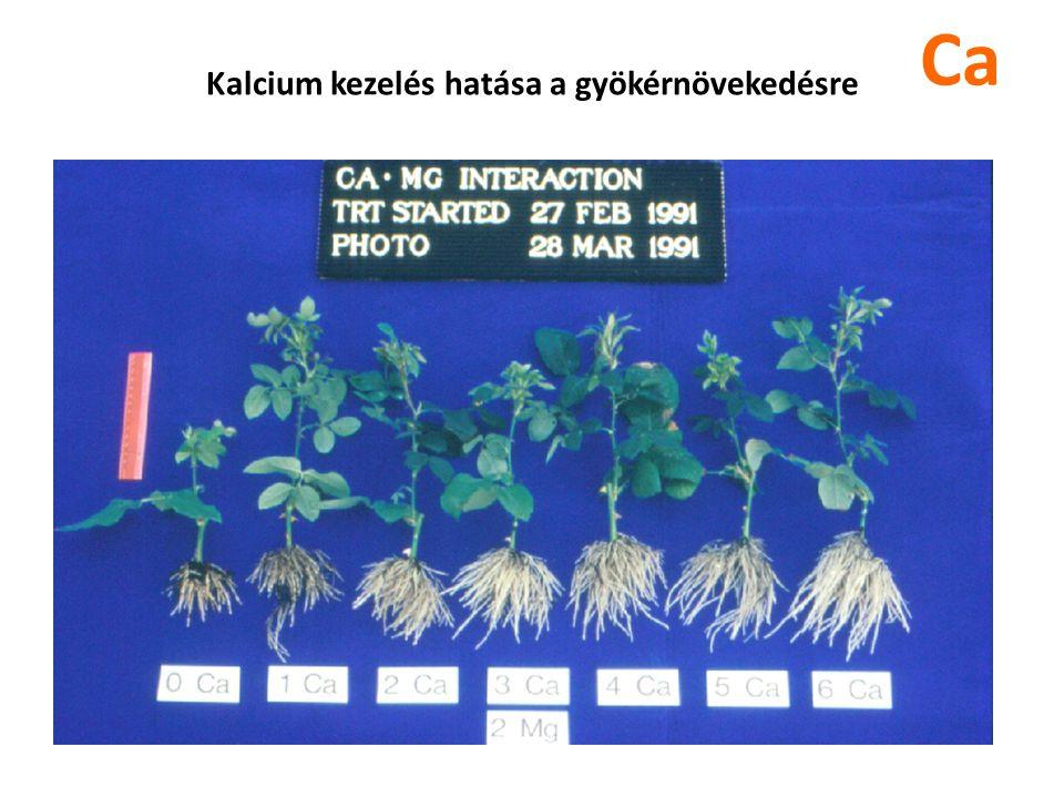 Kalcium kezelés hatása a gyökérnövekedésre