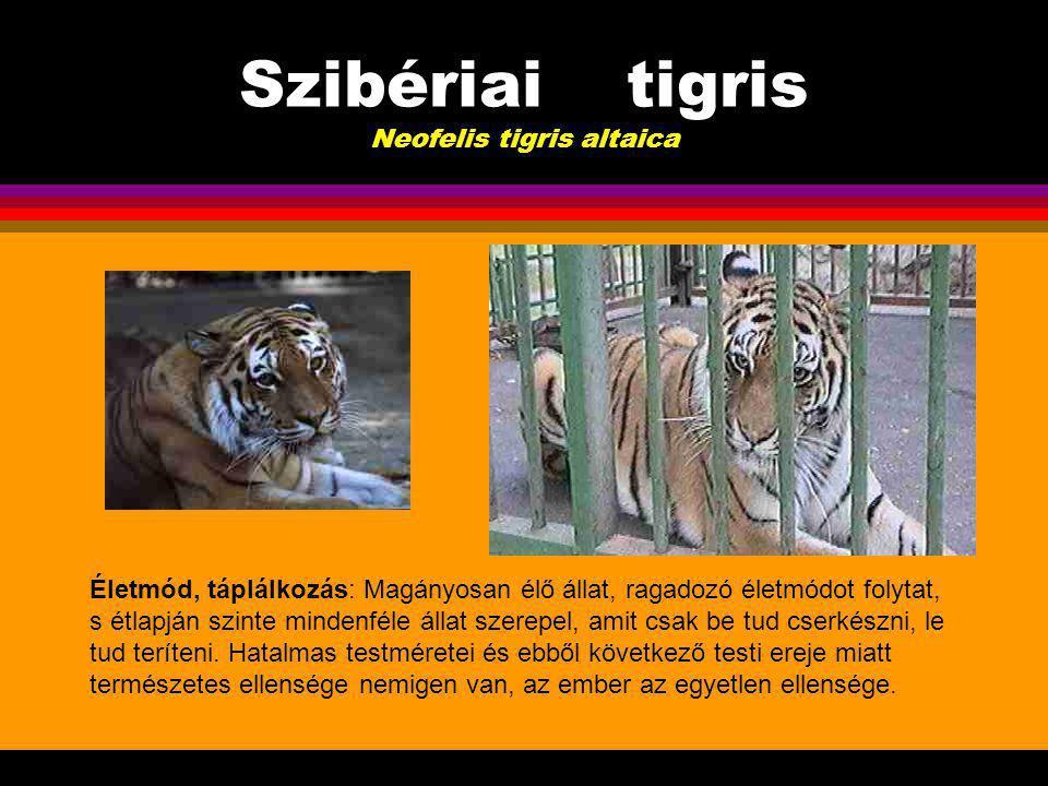 Szibériai tigris Neofelis tigris altaica