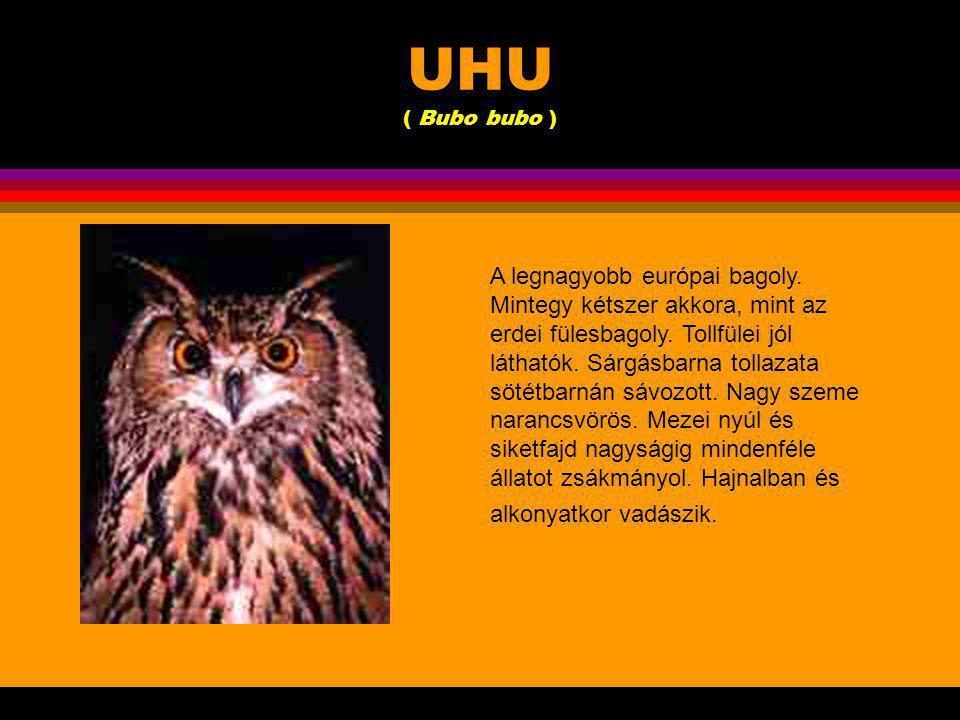 UHU ( Bubo bubo )