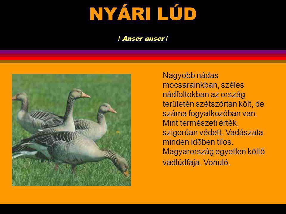 NYÁRI LÚD / Anser anser /