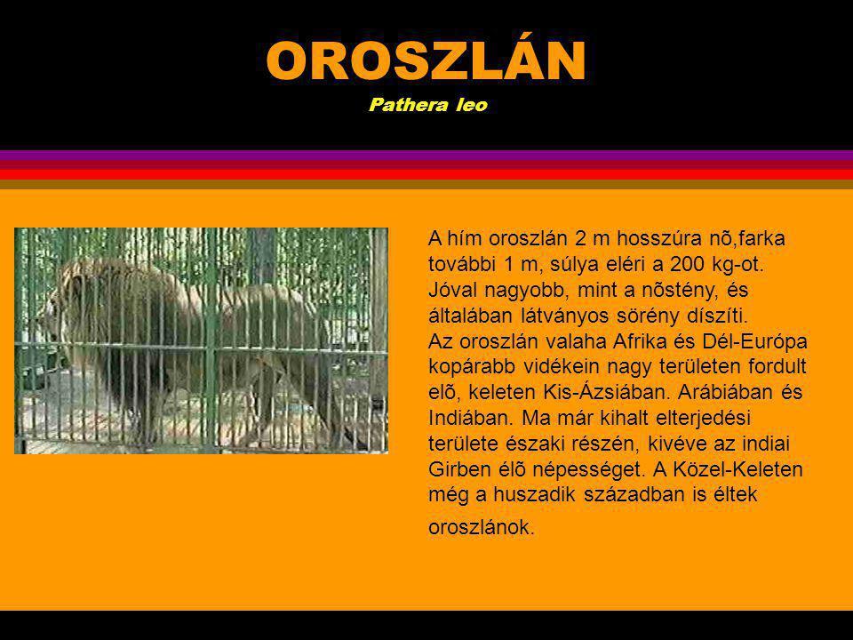OROSZLÁN Pathera leo .