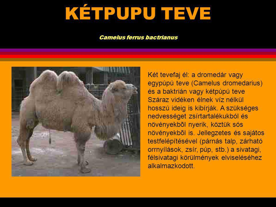 KÉTPUPU TEVE Camelus ferrus bactrianus