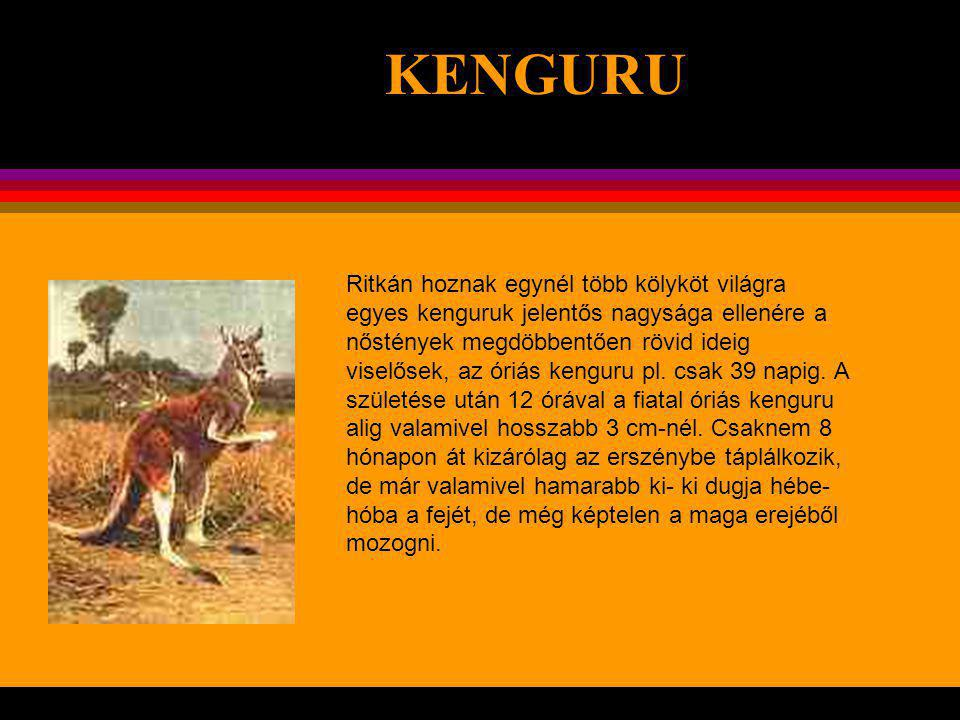 KENGURU .