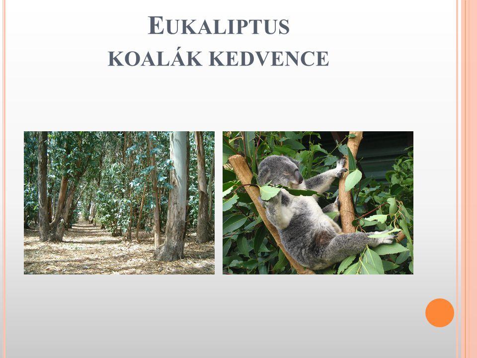 Eukaliptus koalák kedvence