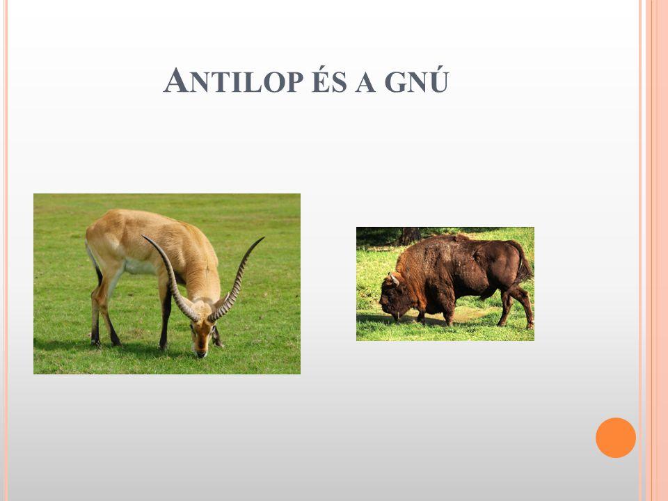 Antilop és a gnú