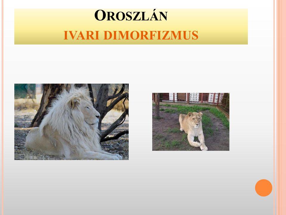 Oroszlán ivari dimorfizmus