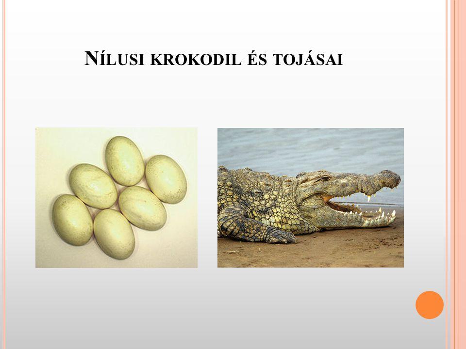 Nílusi krokodil és tojásai