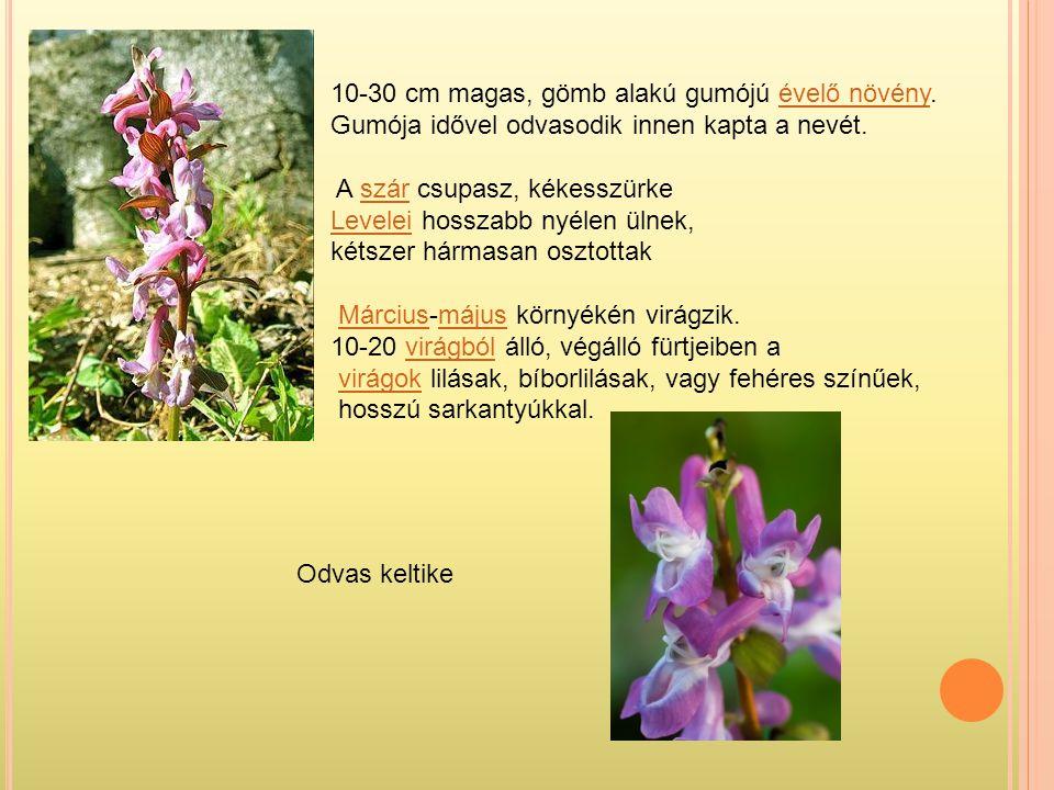 10-30 cm magas, gömb alakú gumójú évelő növény.