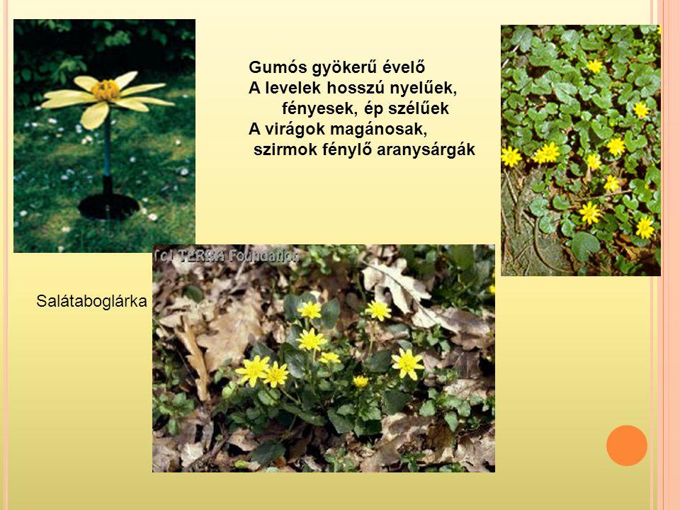 Gumós gyökerű évelő A levelek hosszú nyelűek, fényesek, ép szélűek. A virágok magánosak, szirmok fénylő aranysárgák.