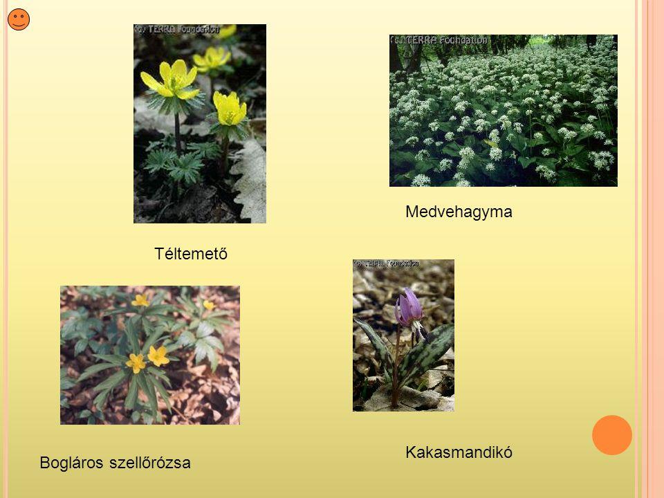 Medvehagyma Téltemető Kakasmandikó Bogláros szellőrózsa