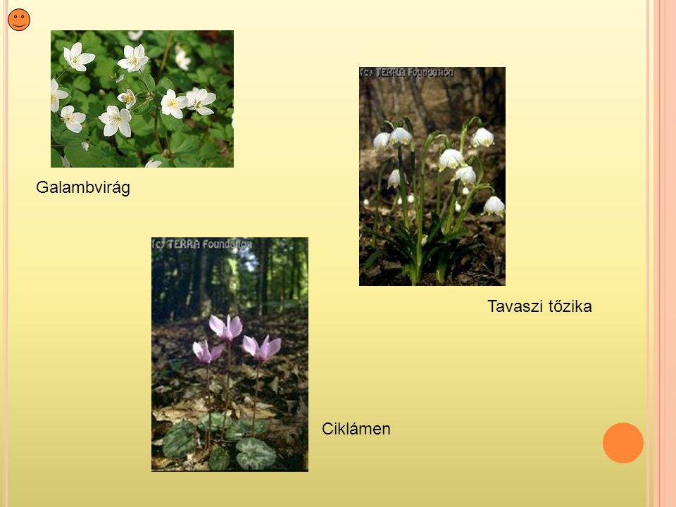 Galambvirág Tavaszi tőzika Ciklámen