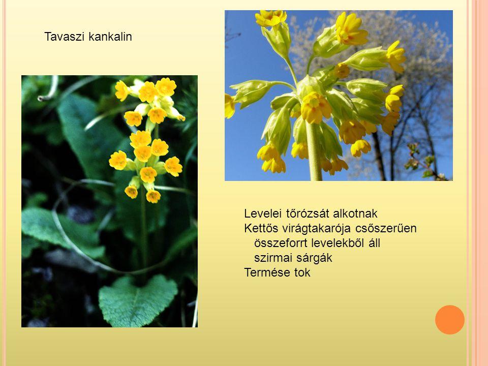 Tavaszi kankalin Levelei tőrózsát alkotnak. Kettős virágtakarója csőszerűen. összeforrt levelekből áll.