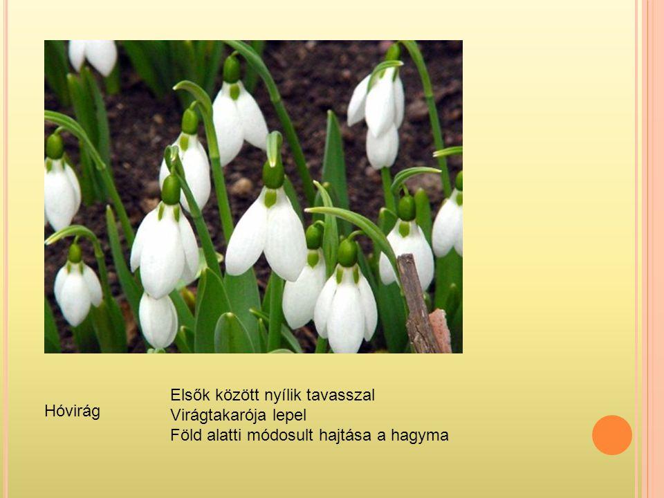 Elsők között nyílik tavasszal