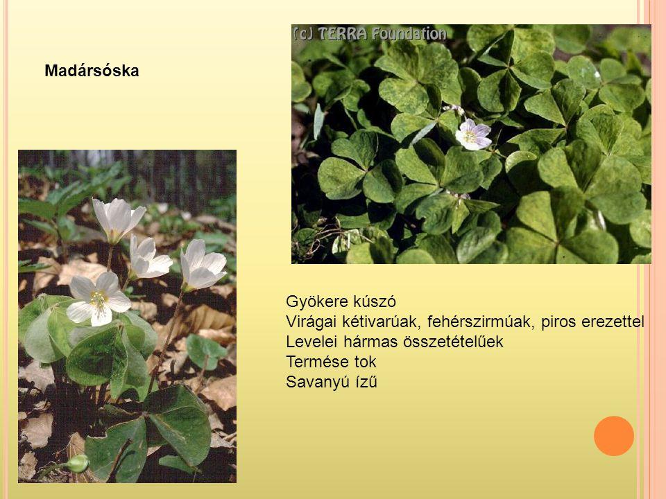 Madársóska Gyökere kúszó. Virágai kétivarúak, fehérszirmúak, piros erezettel. Levelei hármas összetételűek.